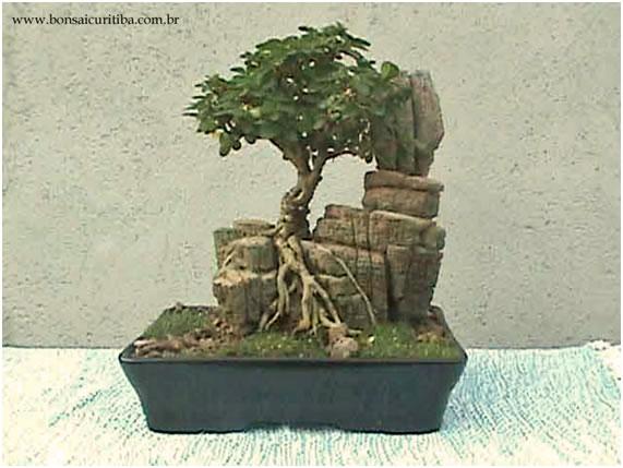 bonsai com raiz sobre pedra